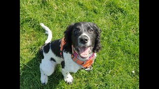 Sprocket the 4 month old Sprocker Puppy - 4 Weeks Residential Dog Training