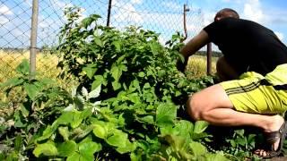 Двойная обрезка малины (весенний этап)(Выполнение двойной обрезки малины., 2014-06-23T17:39:11.000Z)