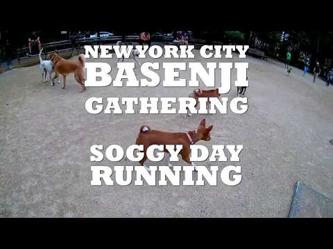 New York City Basenji Gathering - 15 July 2018 - Soggy Day Running