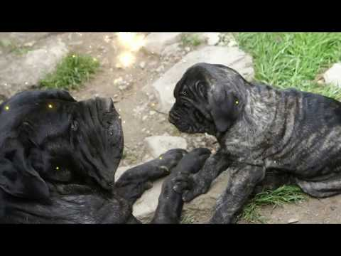 Neapolitan Mastiff Mother With Favorite Puppy - Twins!