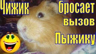 Чижик бросает вызов Пыжику/Смешные свинки/Смешной стишок/Забавные морские свинки