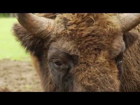 Bison transportation to the Southern Carpathians