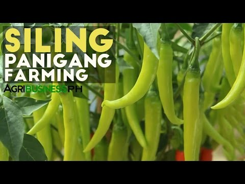 How to Grow Green Chili or Siling Panigang | Agribusiness Philippines