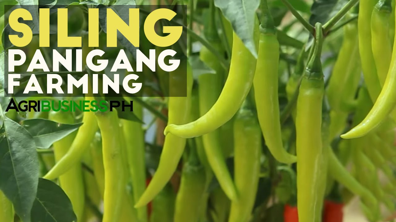 Siling Panigang: Siling Panigang Planting Guide for Abondant Harvest