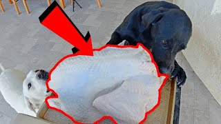 Leaving 4 Labradors Alone With A Turkey...