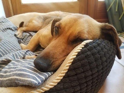 Coco - 2 Year Old Serbian Rescue Dog - Alpine Dachsbracke x - 4 Weeks Residential Dog Training