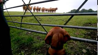Tor Vizsla sees cows for the first time