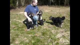 Pfoetchenrettung: Yorki-tibet-terrier-mischlinge Aus Der Tierauffangstation Budaörs In Ungarn