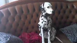 Dalmatian Dog relax  outside is weather -22 *C / -8 *F