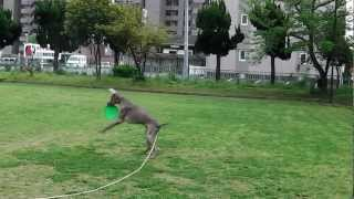 Weimaraner ,Abby is jumping over a fence of swings.It's Abby's favo...