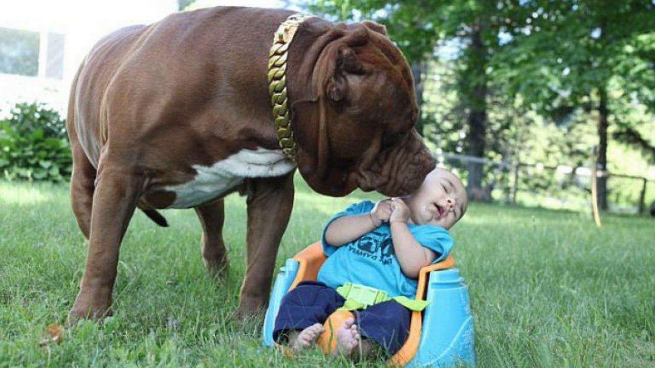 ТОП 5 лучших собак нянек. Лучшие собаки для детей! - YouTube