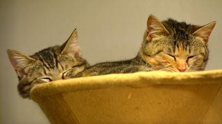 一緒に寝る兄妹猫