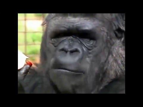 Koko the Gorilla - Humans talking to other animals