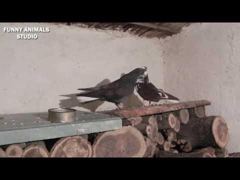Клубы голубеводов