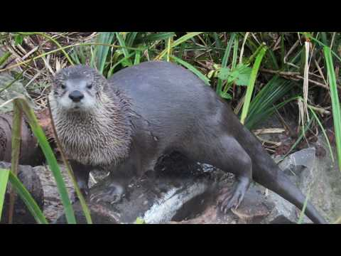 North American River Otters at WWT Slimbridge in Gloucestershire