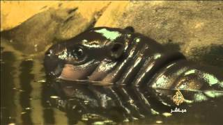 حديقة حيوان بريطانية تحتفل بميلاد فرس نهر قزم مهدد بالانقراض