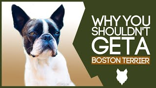 BOSTON TERRIER! 5 Reasons you SHOULD NOT GET A Boston Terrier Puppy!