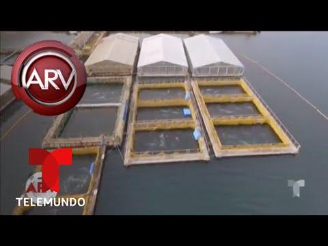 Dron captó imágenes de una cárcel de ballenas | Al Rojo Vivo | Telemundo