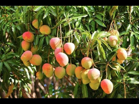 Grow Your Own Mangoes In Containers! - Complete Growing Guide