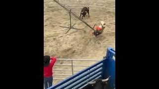 бык гонится за людьми на протяжении 41 секунды