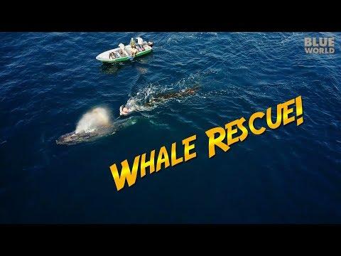 Humpback Whale Rescue! | JONATHAN BIRD'S BLUE WORLD