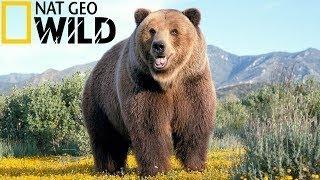 Супер фильм National Geographic Эволюция Медведя От доисторического хищника до наших дней