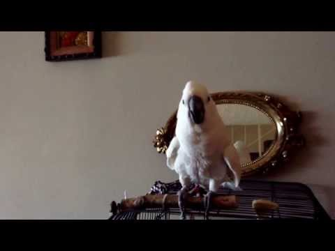 La loca de la cacatua jennifer gritando! Crazy bird screaming!