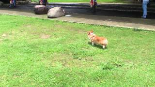 Love to Play The Welsh Corgi Lucky @ 桃園陽明運動公園