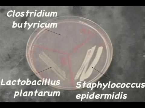 STAPHYLOCOCCUS SAPROPHYTICUS -