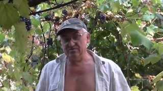 Вино из винограда Каберне Совиньон. Приготовление мезги. Видео 2(Собраный виноград нужно подавить и превратить в мезгу. Добавить сахара и воды. Поставить на первое брожение., 2015-10-04T18:14:02.000Z)