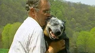 Australian Cattle Dog - Akc Dog Breed Series