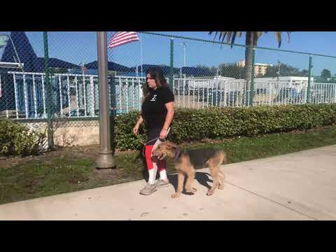 Bella | Airedale | Training Downtown St Pete