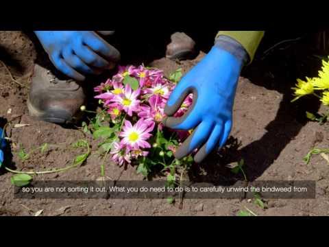 Bindweed In Flowerbed | Videos | Roundup Weedkiller