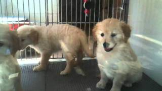 3 Golden Retriever Puppies