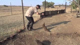 Feeding Water Mongoose Raw Eggs | Kevin Richardson South Africa