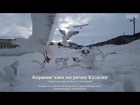 2020.05.08 Кормлю чаек на речке Казачке. Город Анадырь Чукотский АО Дальний Восток Арктика