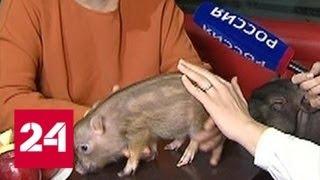 Аферисты подкладывают свинью: до каких размеров может вырасти мини-пиг - Россия 24