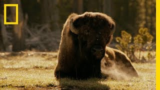 Bison and Elk in Yellowstone - ASMR Yellowstone Live