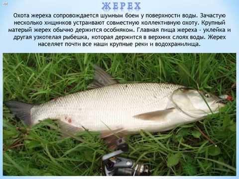 Как выглядит жерех рыба фото