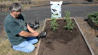 Raised Bed Gardening With Organic Soil/ Reviving Rootbound Plants
