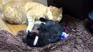 先住猫と子猫 初対面