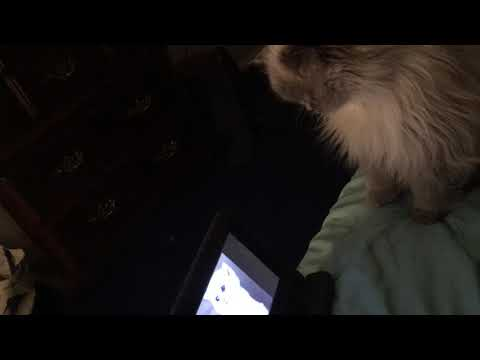 Yeti Looking For Crying Kitten