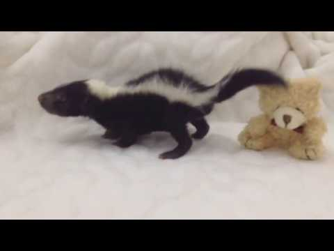 Cute baby skunk Dusty loves to play but nothing could be better than mums hand.