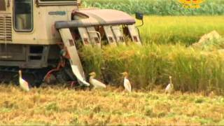 Rice Harvesting: From Fields to Familes (2/2)