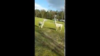 Alpaca's op de camping   Recreatiepark De Achterste Hoef