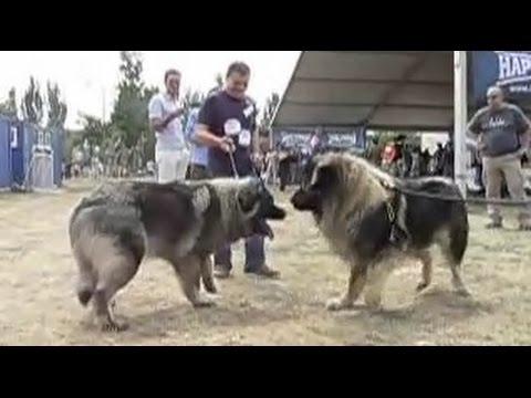 caucasian-ovcharka-vs-sarplaninac---dog-videos-[mr-fenley]