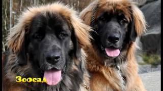 ЗООСАД: леонбергер – лев среди собак