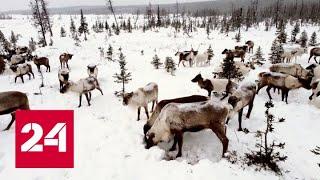 На Ямале в тундре начался массовый падеж оленей - Россия 24