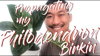 Philodendron birkin propagation in water and soil (with updates!)