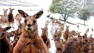 Австралию замело снегом. Полуметровые сугробы, метели и мороз